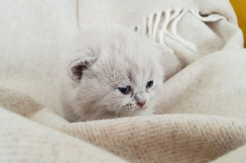 kittens  cat baby  british shorthair