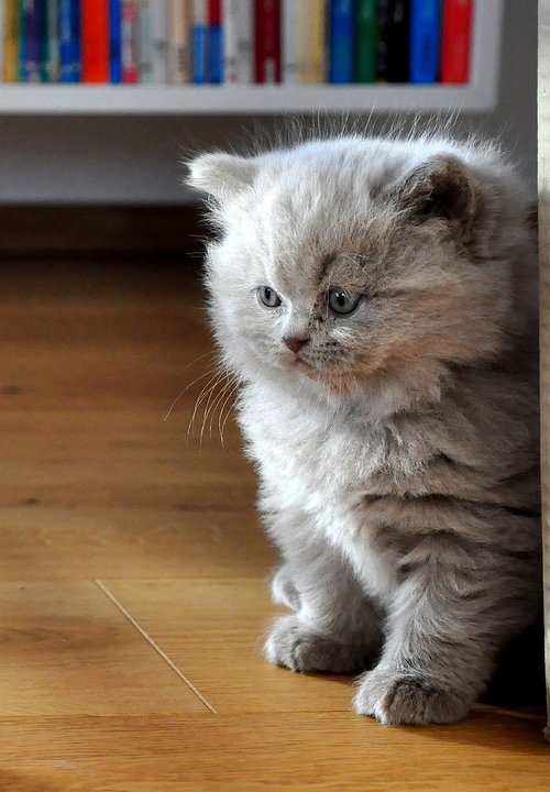 kittens  cat baby  british longhair