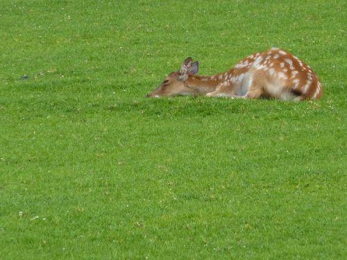 kitz fawn bambi