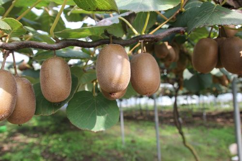 kiwi fruit gold kiwi