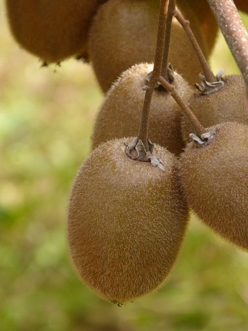 kiwi  fruit  natural