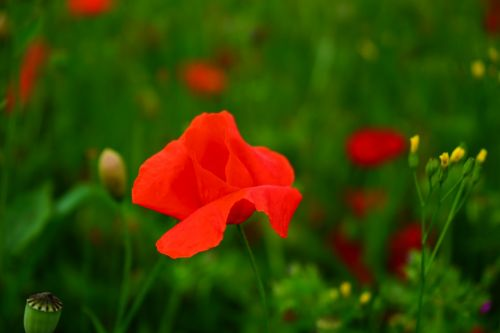 klatschmohn poppy flower poppy