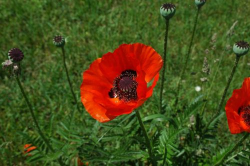 klatschmohn red flower