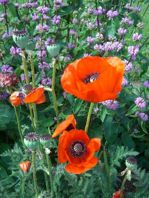 klatschmohn poppy blossom