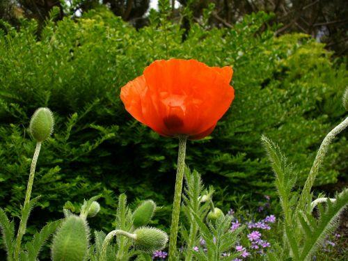 klatschmohn poppy poppy bud