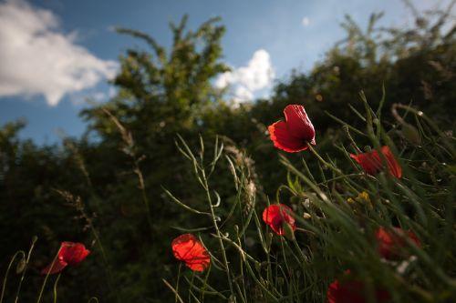 klatschmohn flower calyx