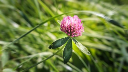 klee red clover clover flower