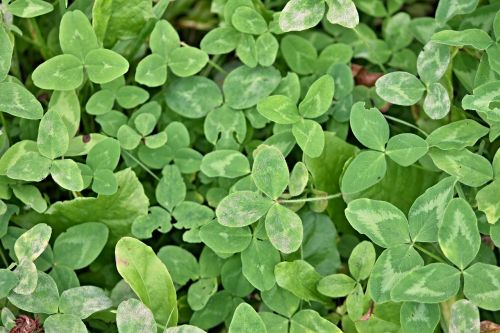 klee shamrocks clover meadow