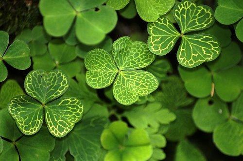 klee  shamrocks  plant