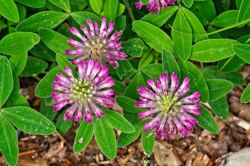 klee  medium clover  trifolium medium
