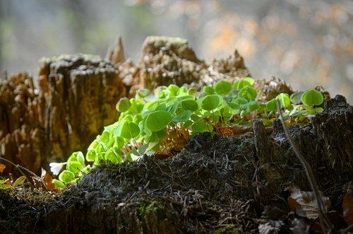 klee  forest clover  sorrel
