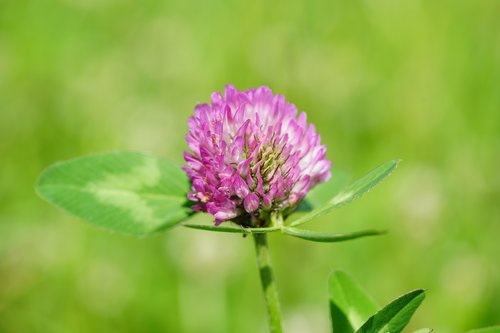 klee  red clover  pointed flower
