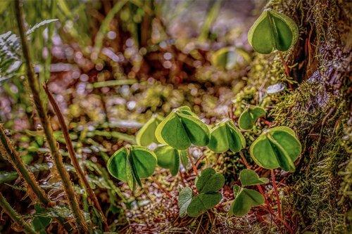 klee  forest clover  forest