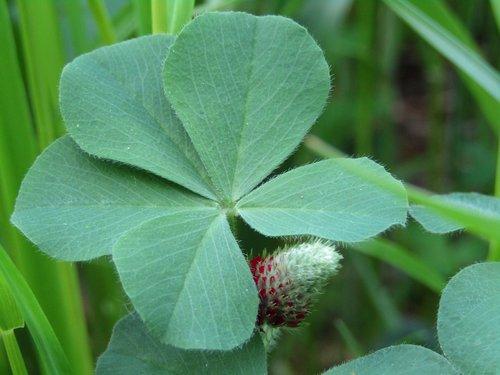 klee  five-leaf clover  forage clover