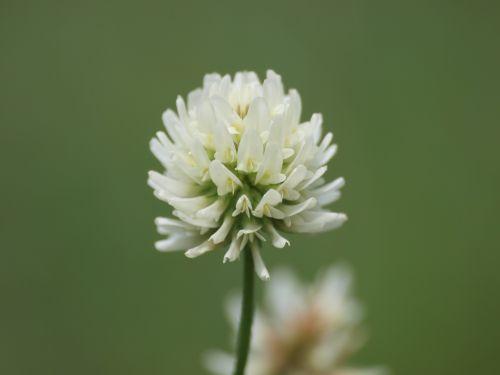 klee flower blossom