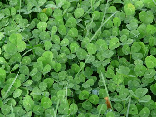 klee lucky clover shamrocks