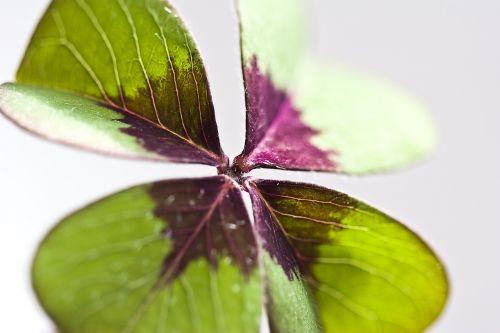 klee,laimingas dobilas,sėkmė,laimingas žavesys,žalias,žvilgsniai,augalas,vierblättrig,laimingas pasiuntinys,gamta,keturių lapų dobilų,palankūs simboliai,miškas,lapai,norai