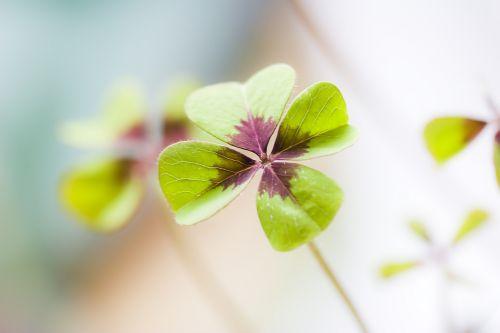 klee lucky clover luck