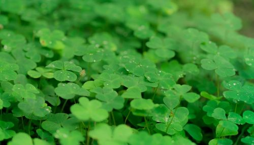 klee shamrocks luck