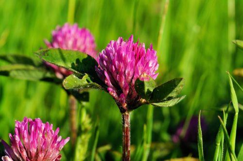 klee clover nature