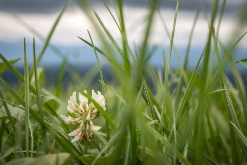 klee,balta,pieva,ganykla,baltas dobilas,dumblių dobilas,aštraus gėlė,žiedas,žydėti,gėlė,makro,švelnumas,gerai,švelnus,žalias,švelnus,trapi,žydėti