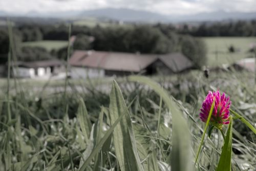 klee,rožinis,raudonieji dobilai,aštraus gėlė,laukinė gėlė,plonumas,išsamiai,makro,žiedas,žydėti,gėlė,dangus,minkštas,švelnus,švelnus,trapi,žydėti,ūkis,Alpių,bavarija,Vokietija