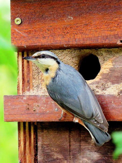 kleiber feeding nesting box