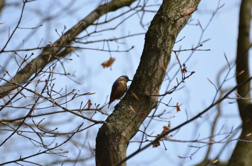 kleiber bird log