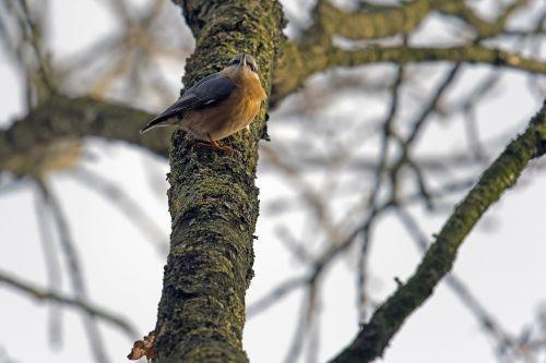 kleiber songbird bird