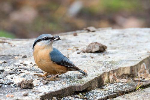 kleiber sitta europaea bird