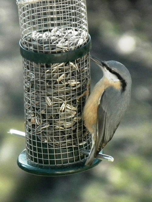 kleiber bird food