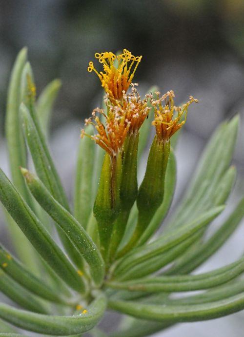 kleinia petraea flower plant