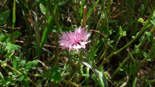 klint pink klint cornflower