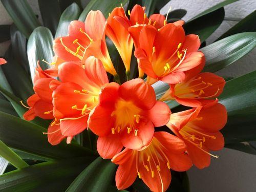 Klivie,gėlė,kambarinis augalas,klivija,amarilio augalas,tvirtas,oranžinė,Uždaryti,dekoratyvinis augalas