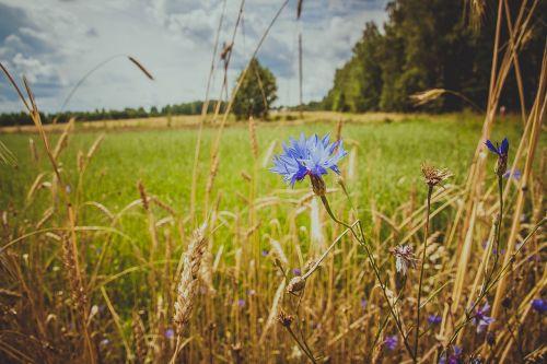 knapweed field wild flowers