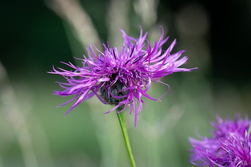 knapweed  purple  flower