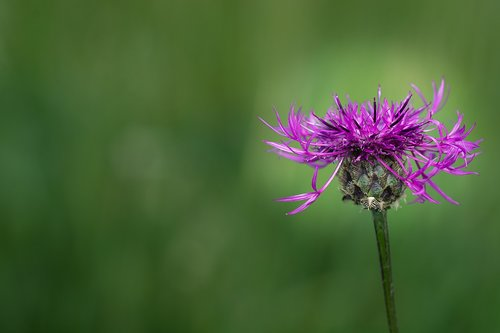knapweed  purple  purple flower