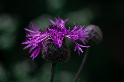 knapweed  purple  purple knapweed