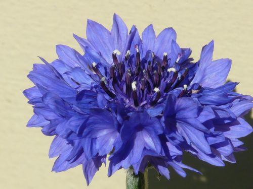 knapweed,rugiagėlė,mėlynas,gėlė,žiedas,žydėti,vasara,centaurea cyanus,zyane,centaurea,kompozitai,asteraceae