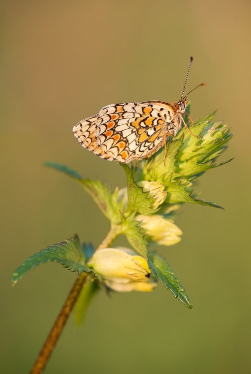 knapweed fritillary melitaea phoebe butterfly