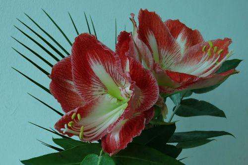knights star amaryllis flower