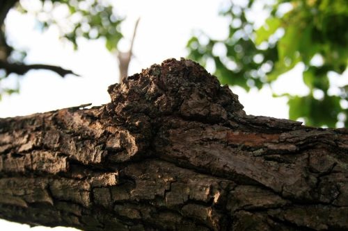 Knob On Branch