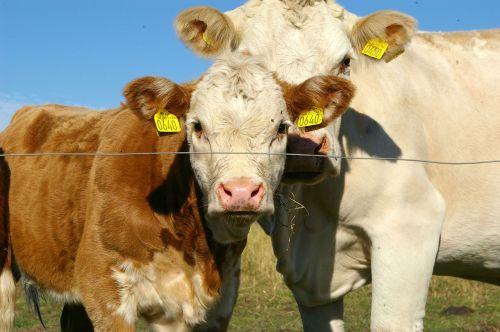 ko calf cows