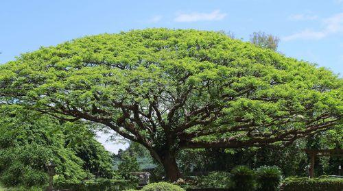 koa tree tree big tree