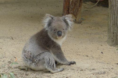 koala perth australia