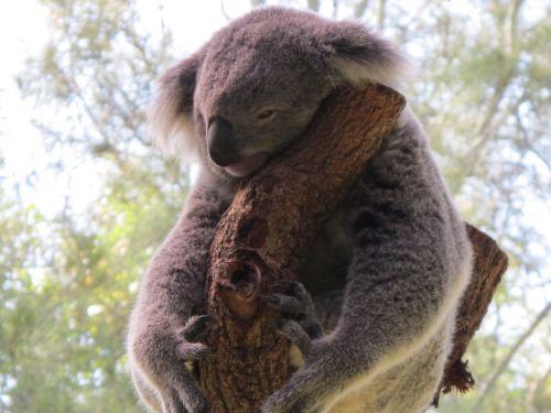 koala koala bear cuddly animal