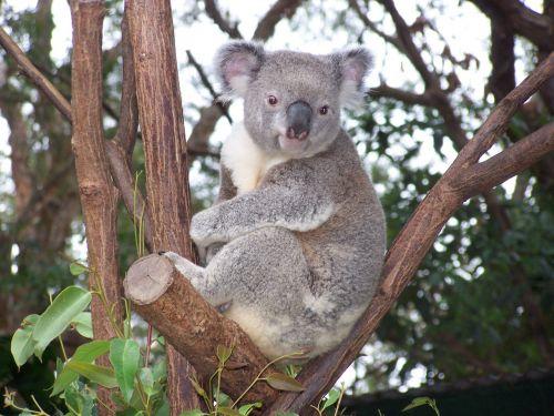 koala australian wildlife marsupial