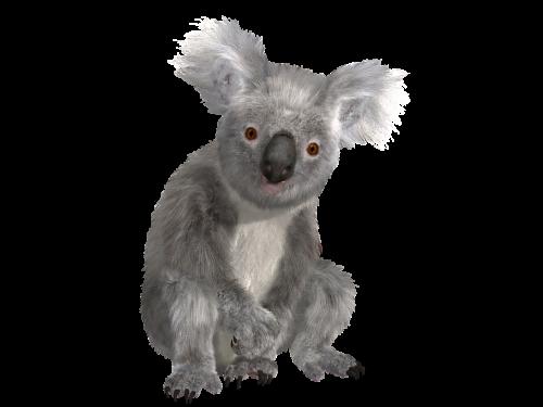koala animal nature