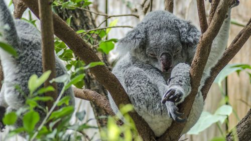 koala zoo cute