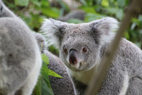 koala cute tree